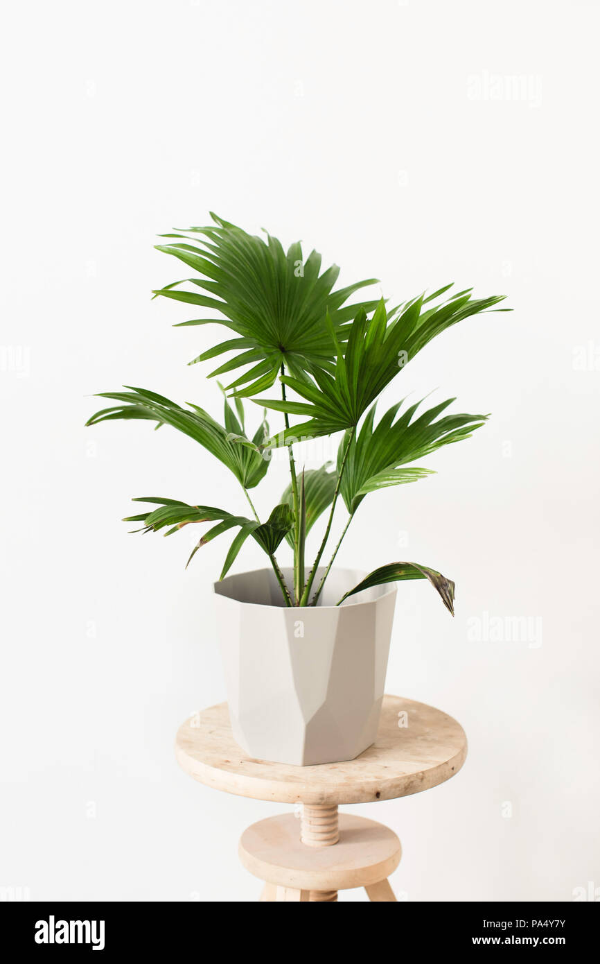 Pot plant (Green Livistona Rotundiflora palm) in a geometric-shaped pot - Stock Image
