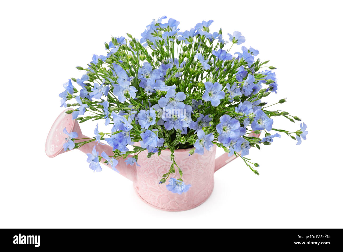Flax Flowers In A Watering Can Isolated On White Background Stock