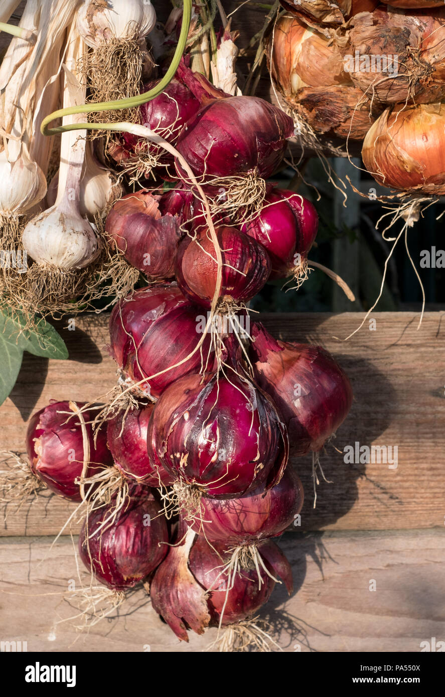 String of red onions catches the late afternoon sun. Onions are hung outside to store them for the winter. - Stock Image