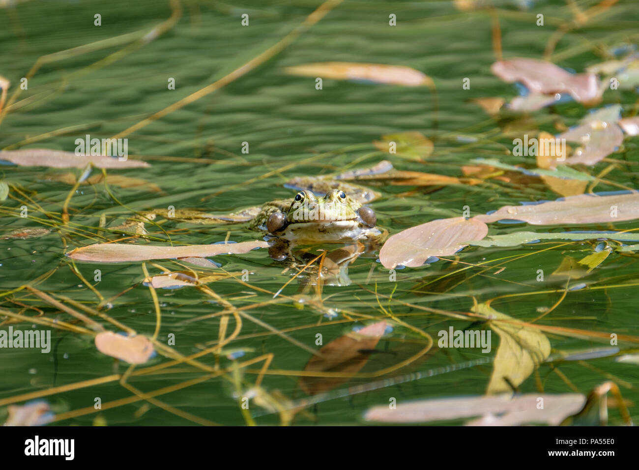Happy frog in a pond. Frogs in a beautiful clear fresh water pond in Switzerland - Stock Image