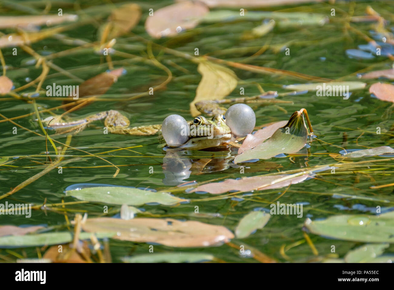 The vocal sacs of a male frog. Frogs in a beautiful clear fresh water pond in Switzerland - Stock Image