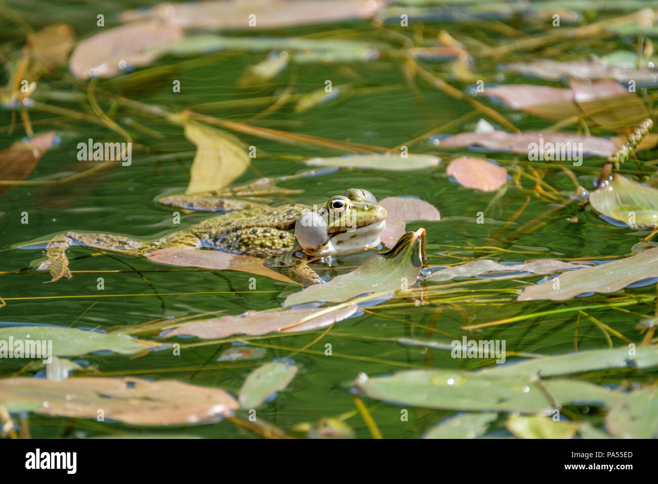 The call of a frog. Frogs in a beautiful clear fresh water pond in Switzerland Stock Photo