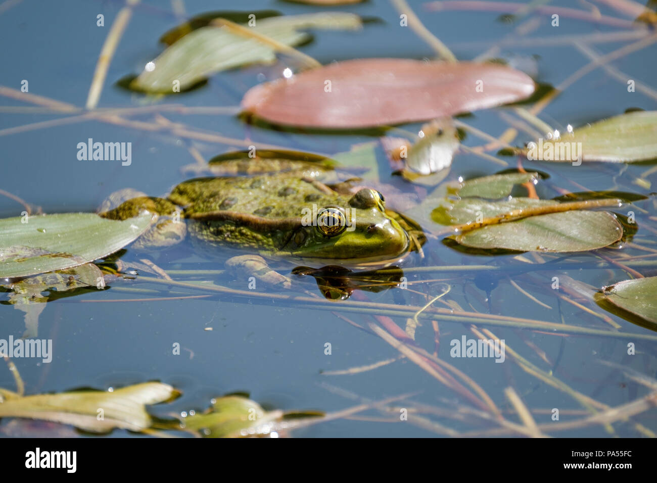 Resting frog in a clear fresh water pond. Frogs in a beautiful clear fresh water pond in Switzerland - Stock Image