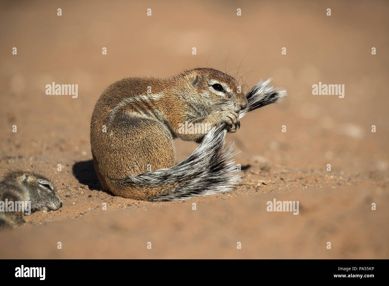 Ground squirrel (Xerus inauris) grooming, Kgalagadi Transfrontier Park, Northern Cape, South Africa - Stock Image
