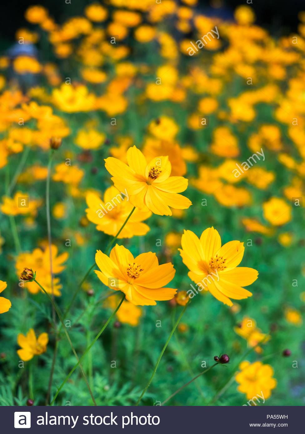 Orange yellow cosmos flower blooming in garden stock photo orange yellow cosmos flower blooming in garden mightylinksfo