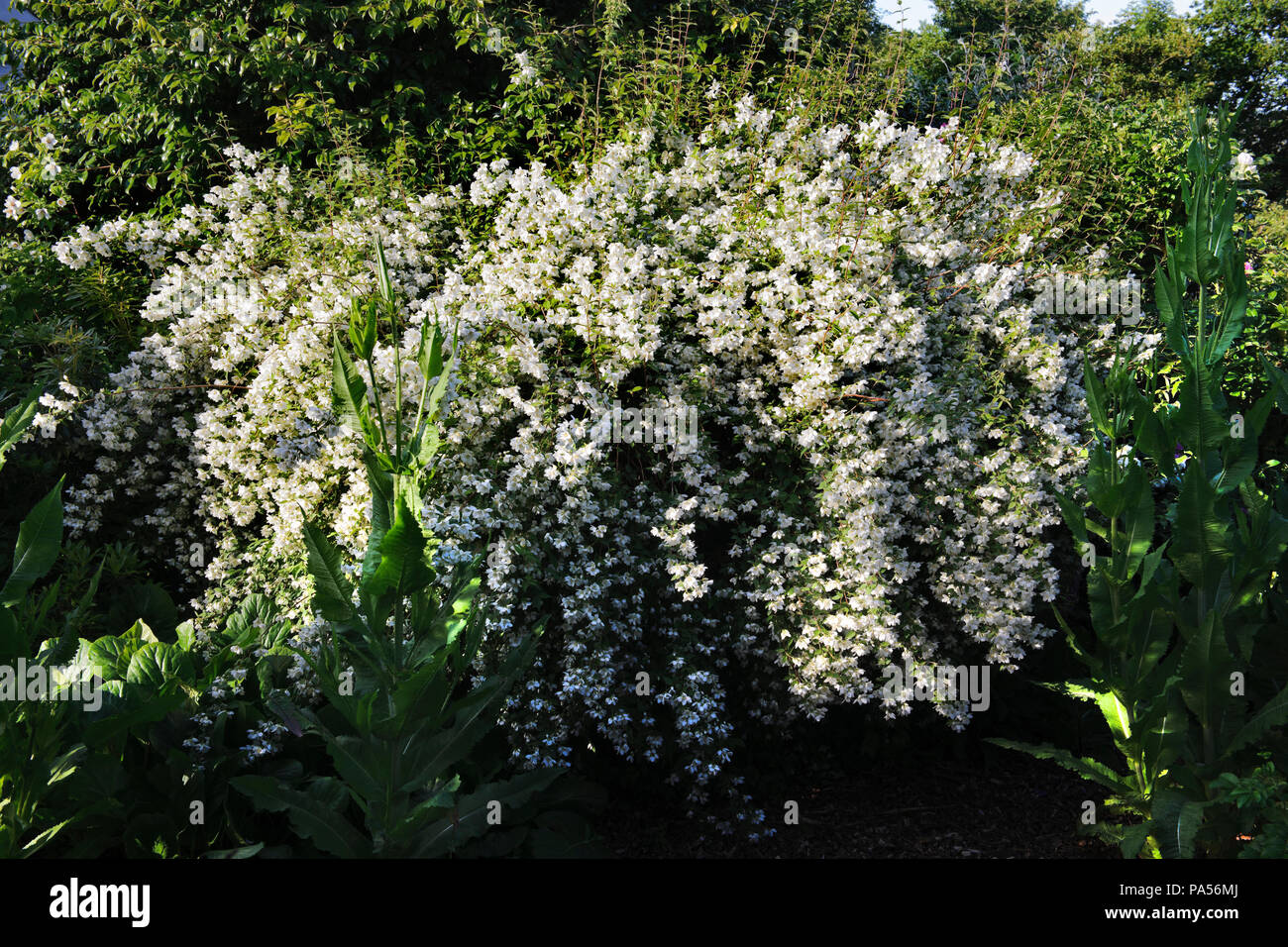 A Philadelphus ('Mock Orange') shrub (most probably microphyllus) in flower in late June in a garden shrubbery near Caernarfon, Wales, UK. - Stock Image