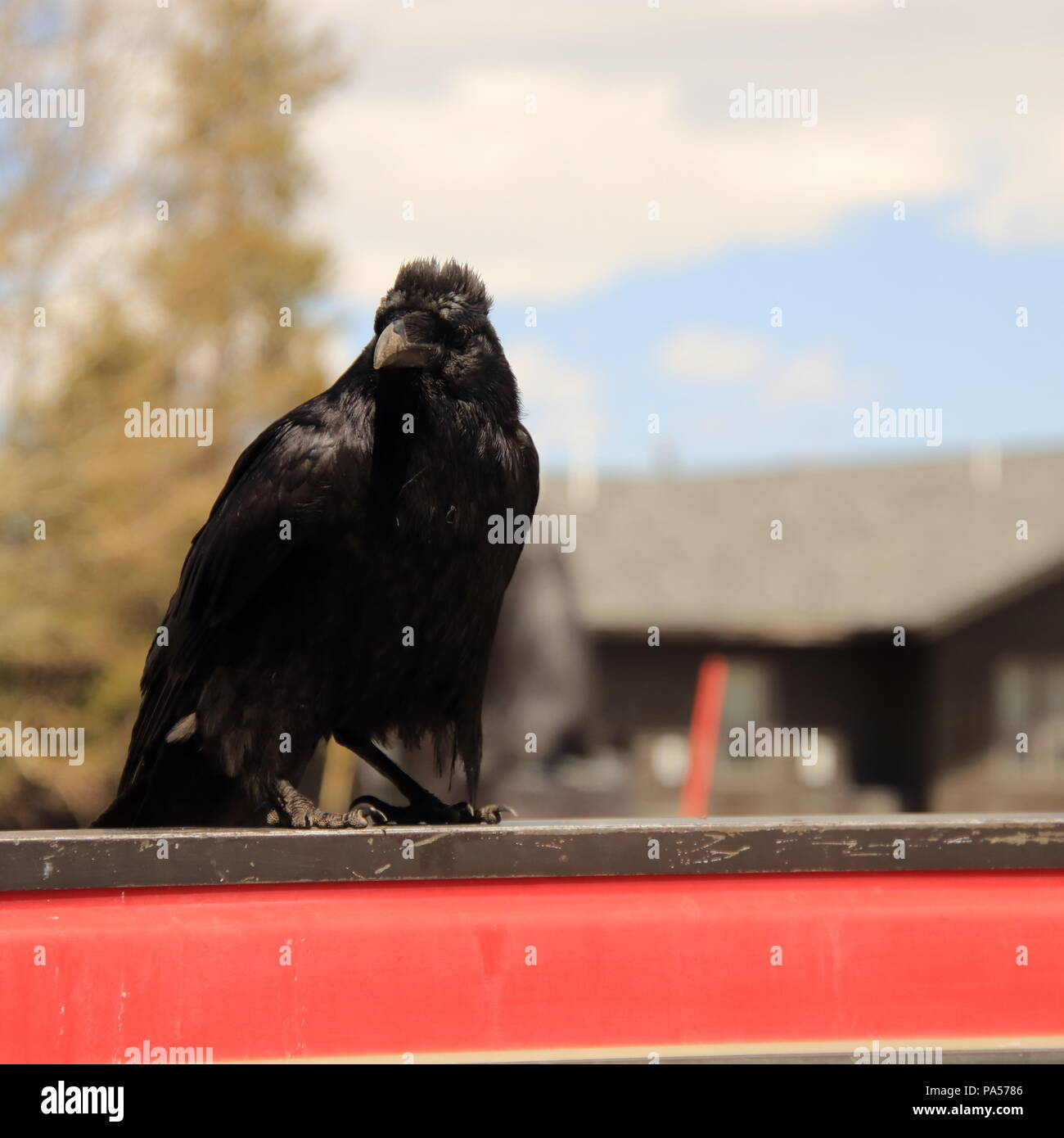 Raven sitting on a street curb  in West Yellowstone Mt USA - Stock Image