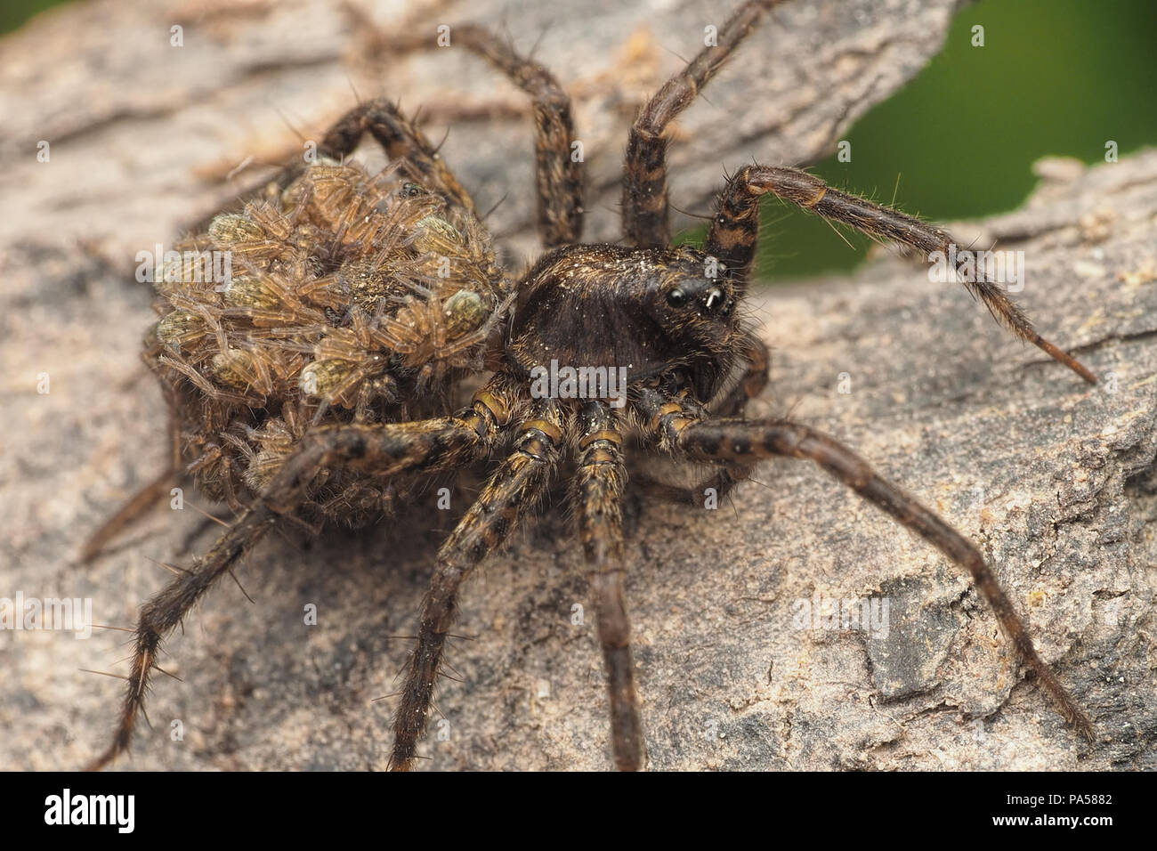 Wolf Spider with spiderlings on her back. Tipperary, Ireland - Stock Image