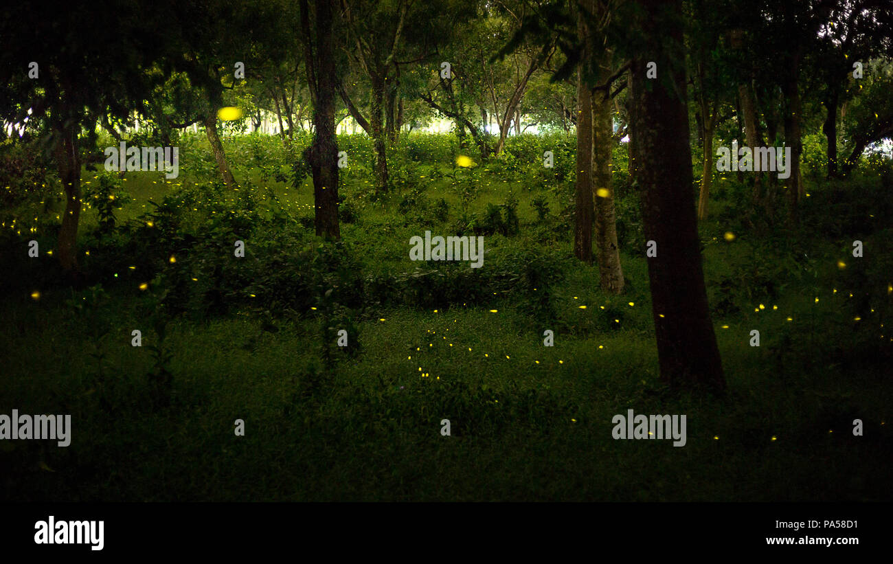 yellow light of firefly, insect or bug animal, fly in nature forest over the glass at night after sunset time, beautiful nature landscape - Stock Image