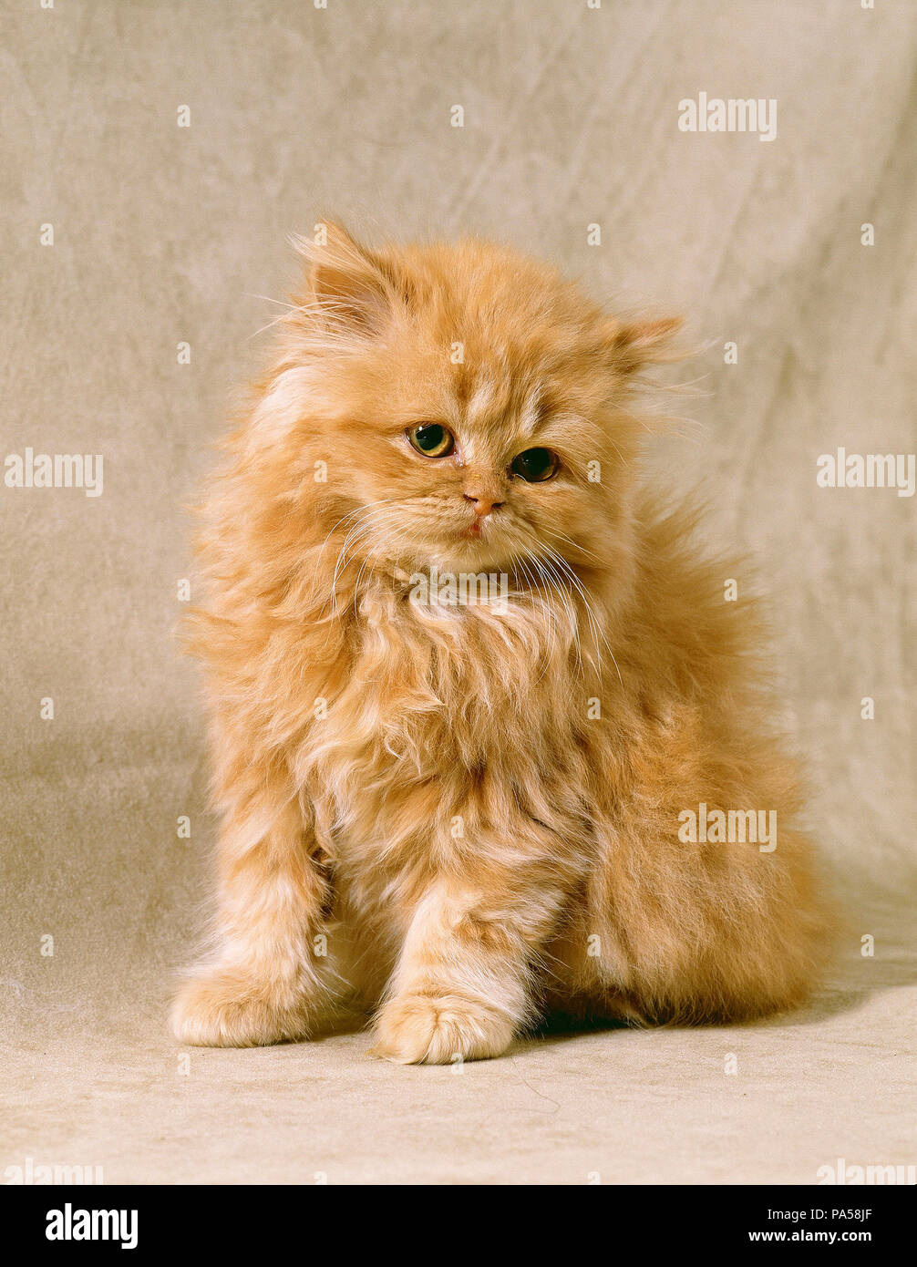 Red Persian Stock Photos & Red Persian Stock Images - Alamy