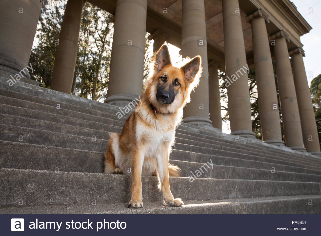Brown Red German Shepherd with big ears sitting on steps in front of a colonnade - Stock Image