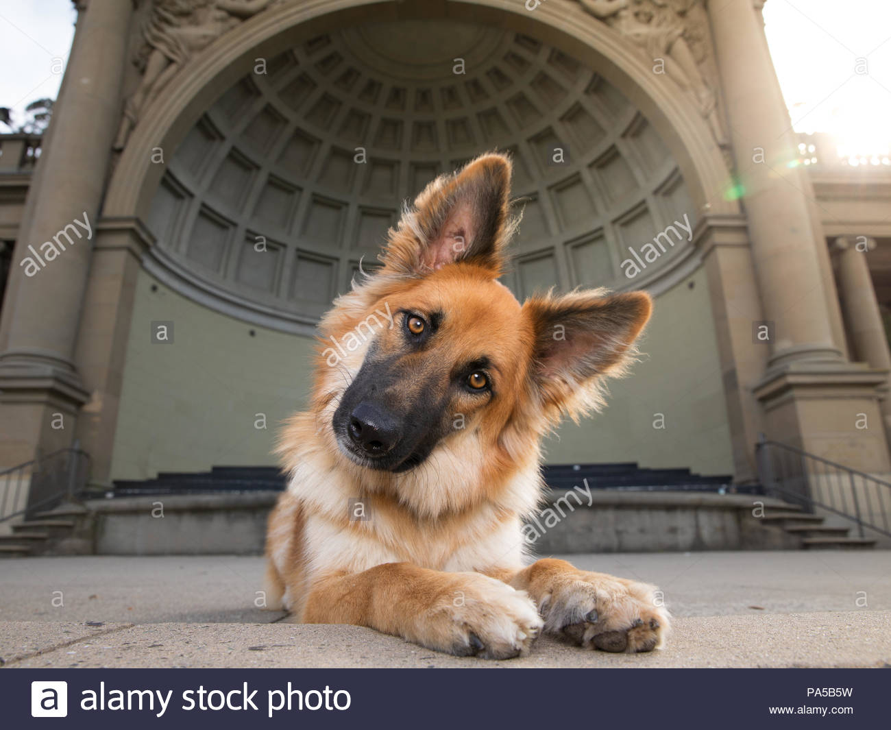 Close-up of brownish red german shepherd mix dog with big ears lying down with paws out in front of coffered bandshell building - Stock Image