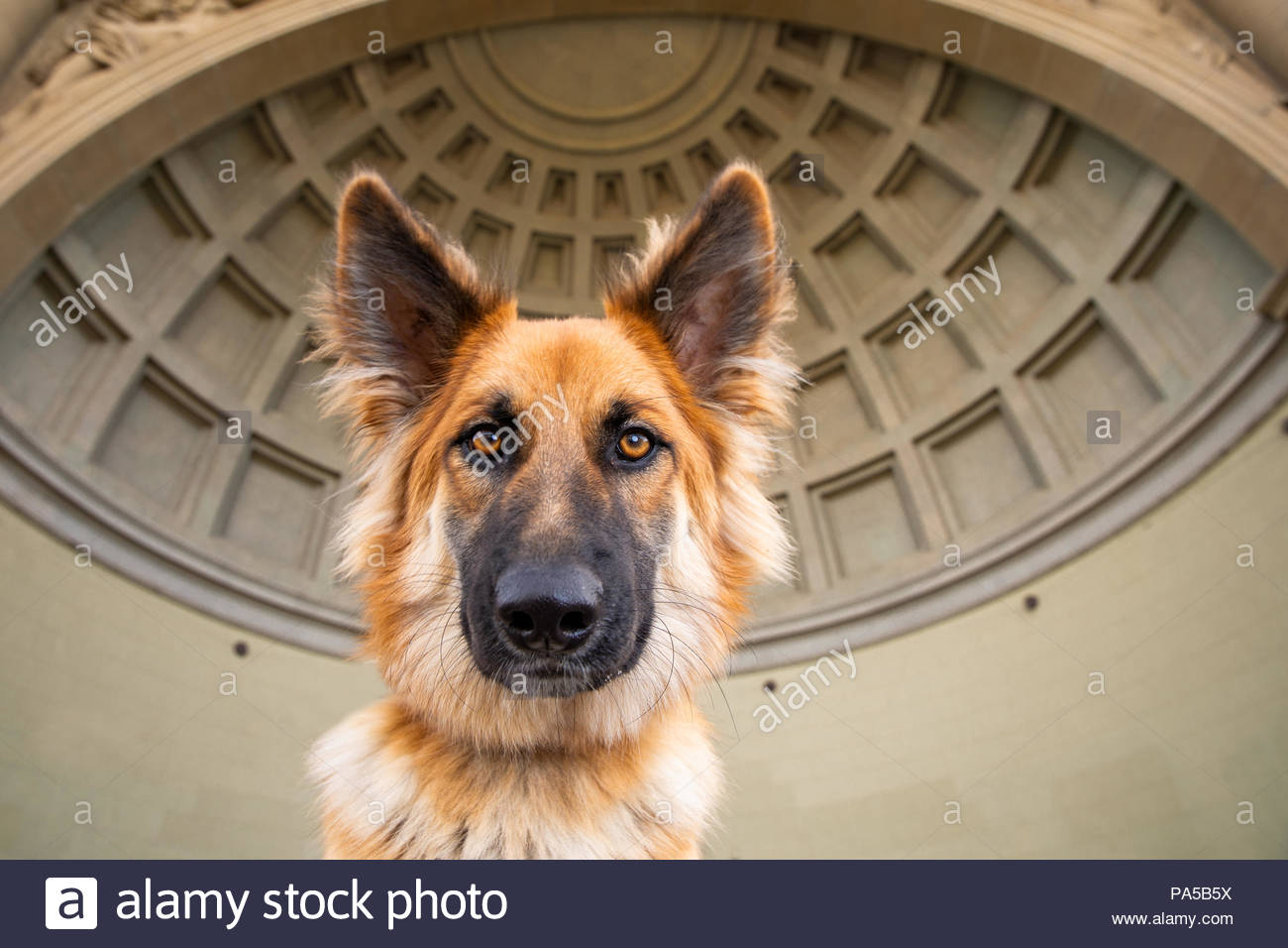 Close-up of German Shepherd MIx with Large Ears in front of a Coffered Bandshell Structure - Stock Image