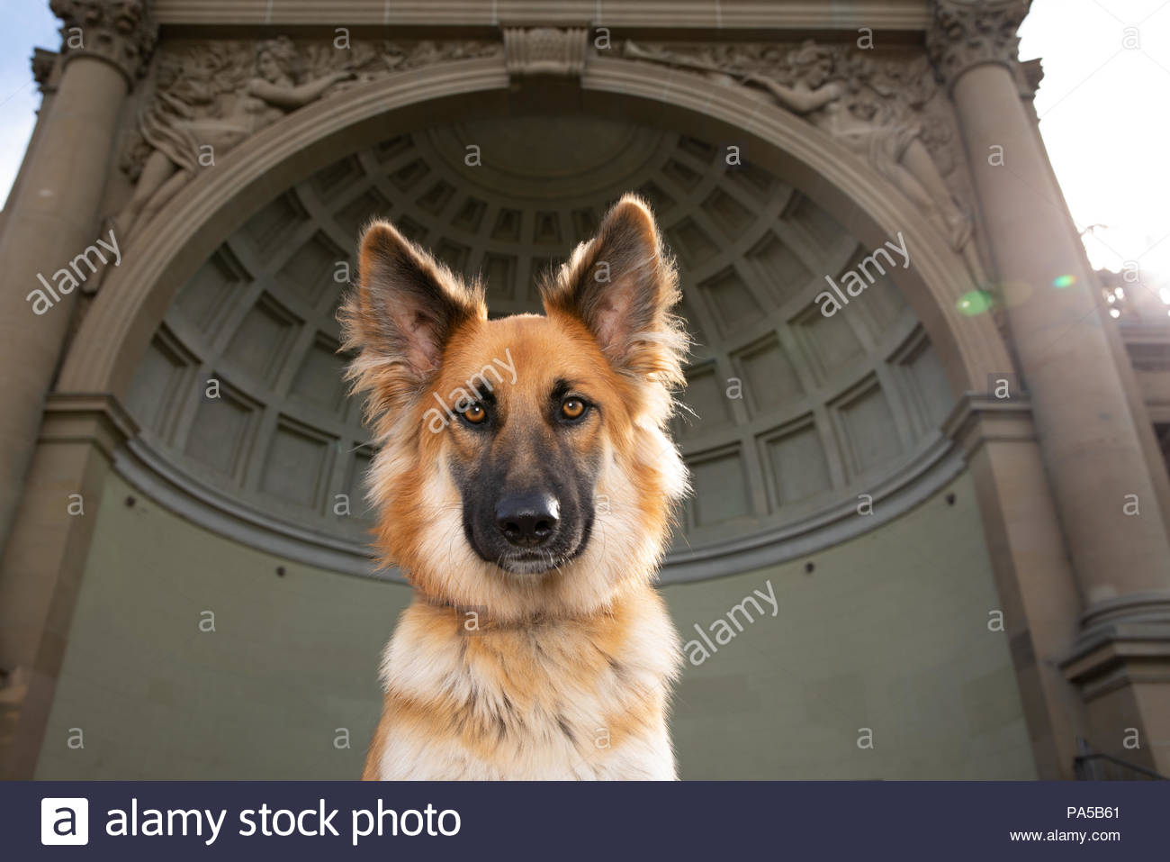 Close-up of brownish red german shepherd mix dog with big ears and brown eyes in front of a coffered bandshell structure - Stock Image
