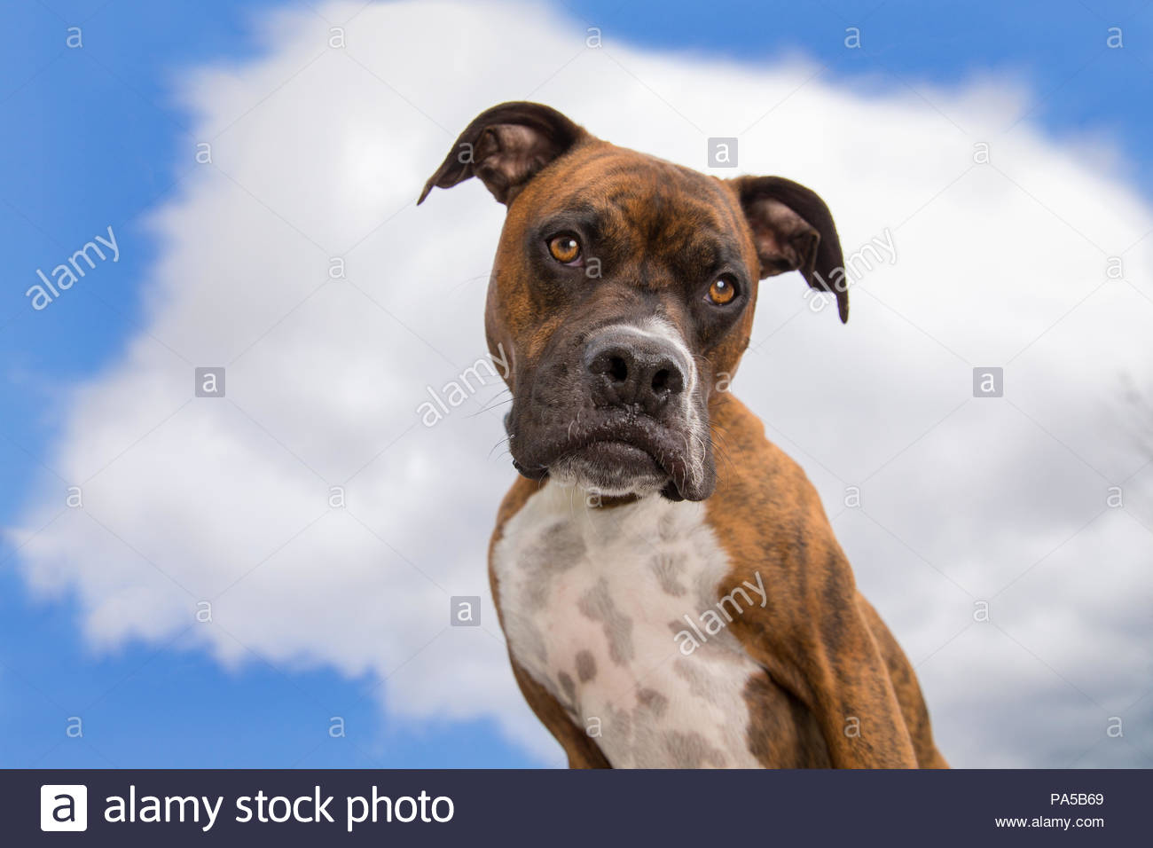 Brown brindle and white boxer close-up with funny expression and blue sky and white clouds behind him - Stock Image