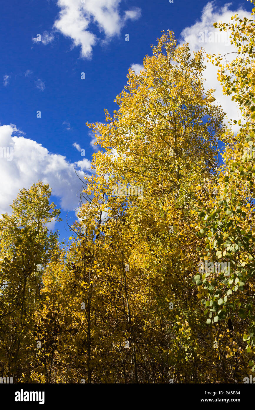 Beautiful fall colors!  Golden Aspen leaves changing color in the Rocky Mountains with a gorgeous cloudy blue fall sky. - Stock Image
