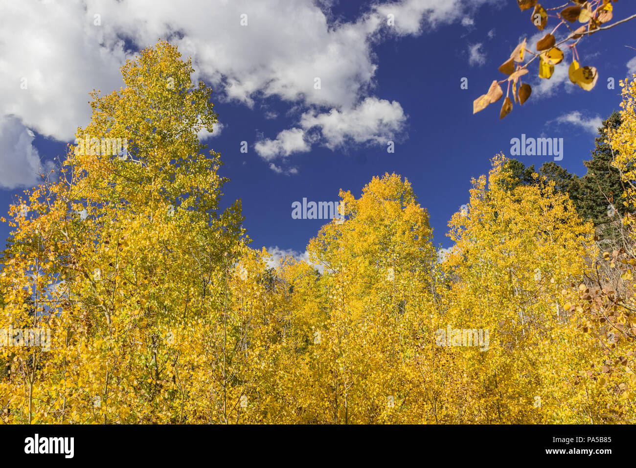 Beautiful fall colors!  Aspen leaves changing color in the Rocky Mountains with a gorgeous cloudy blue sky. - Stock Image
