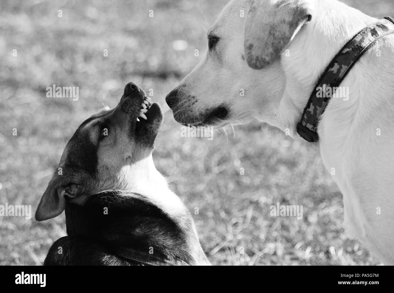 A small dog growls with anger and mistrust towards a labrador that seems quiet. - Stock Image