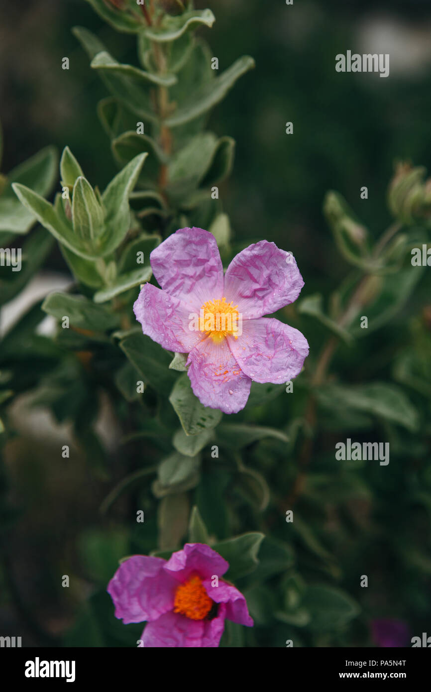 Purple flowers grow in the meadow. Springtime - Stock Image