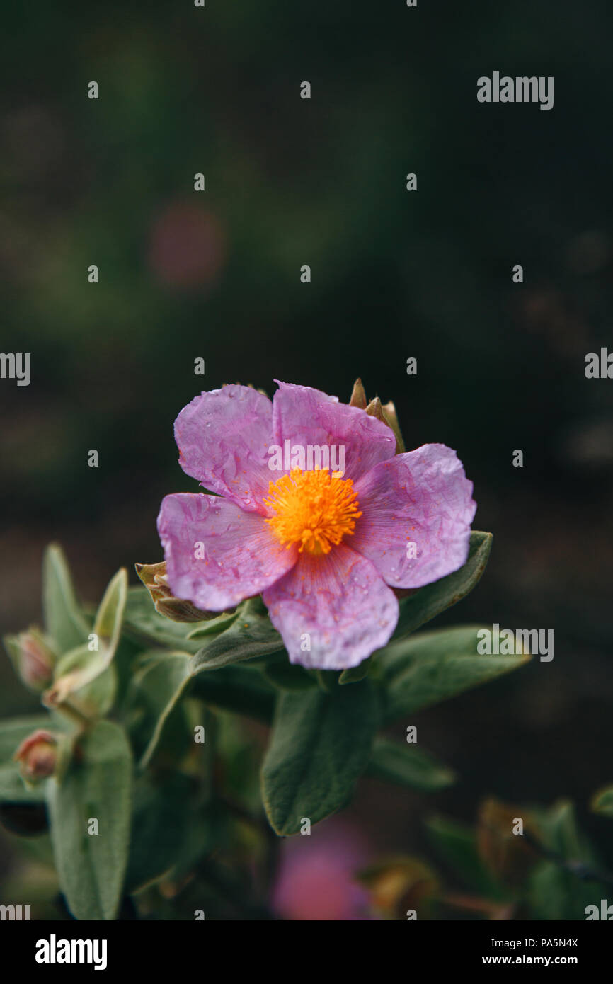 A purple flower grows in a meadow. Springtime - Stock Image