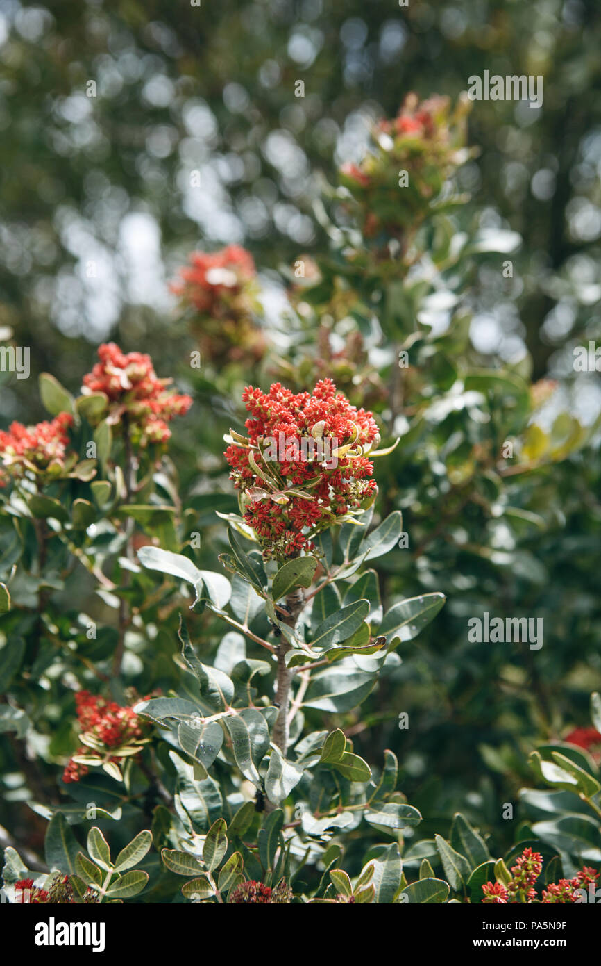 Flowering tree. A branch of a tree with red flowers and green leaves on a sunny day - Stock Image