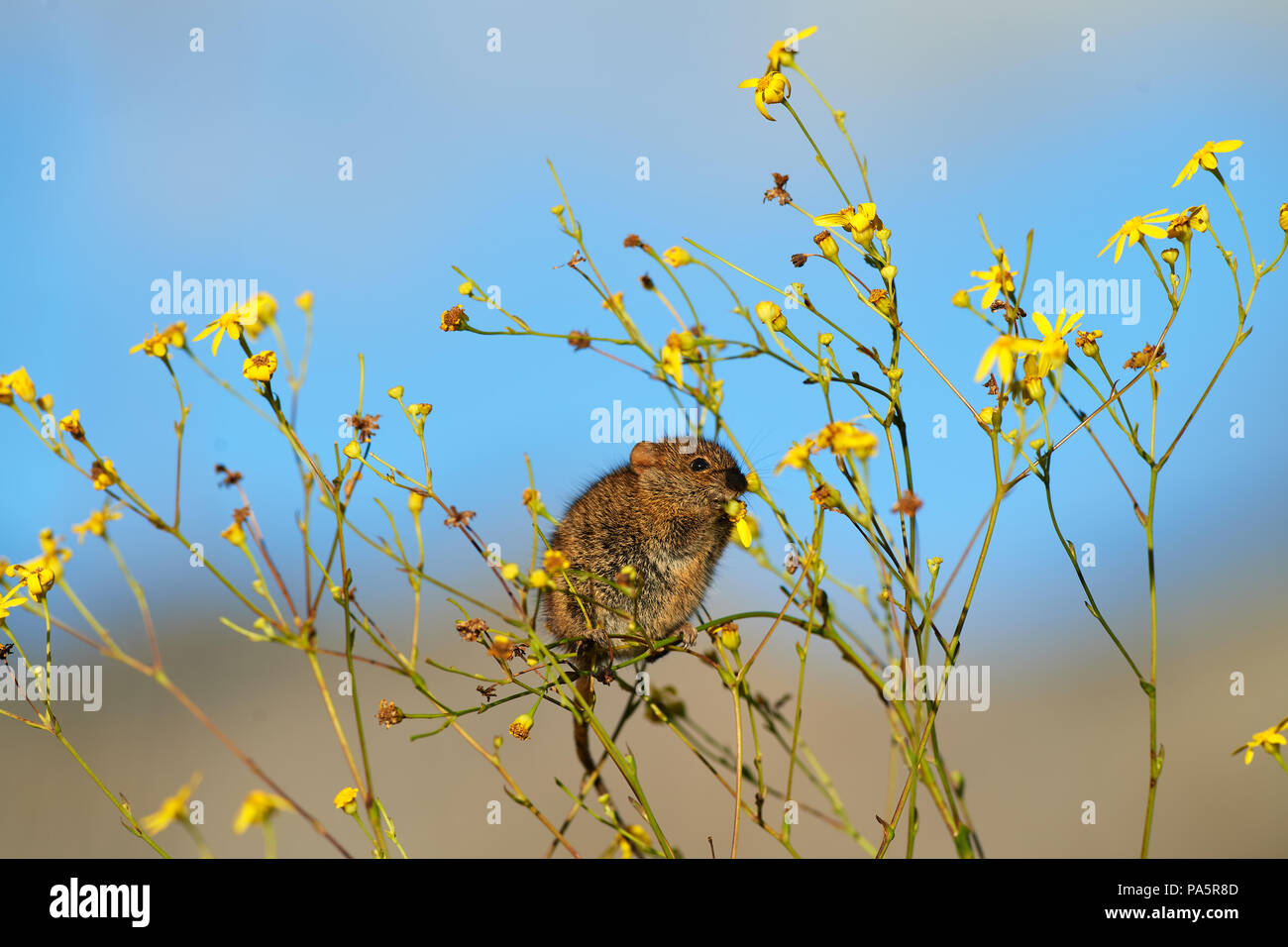 Striped mouse feeding on Yellow Daisy - Stock Image