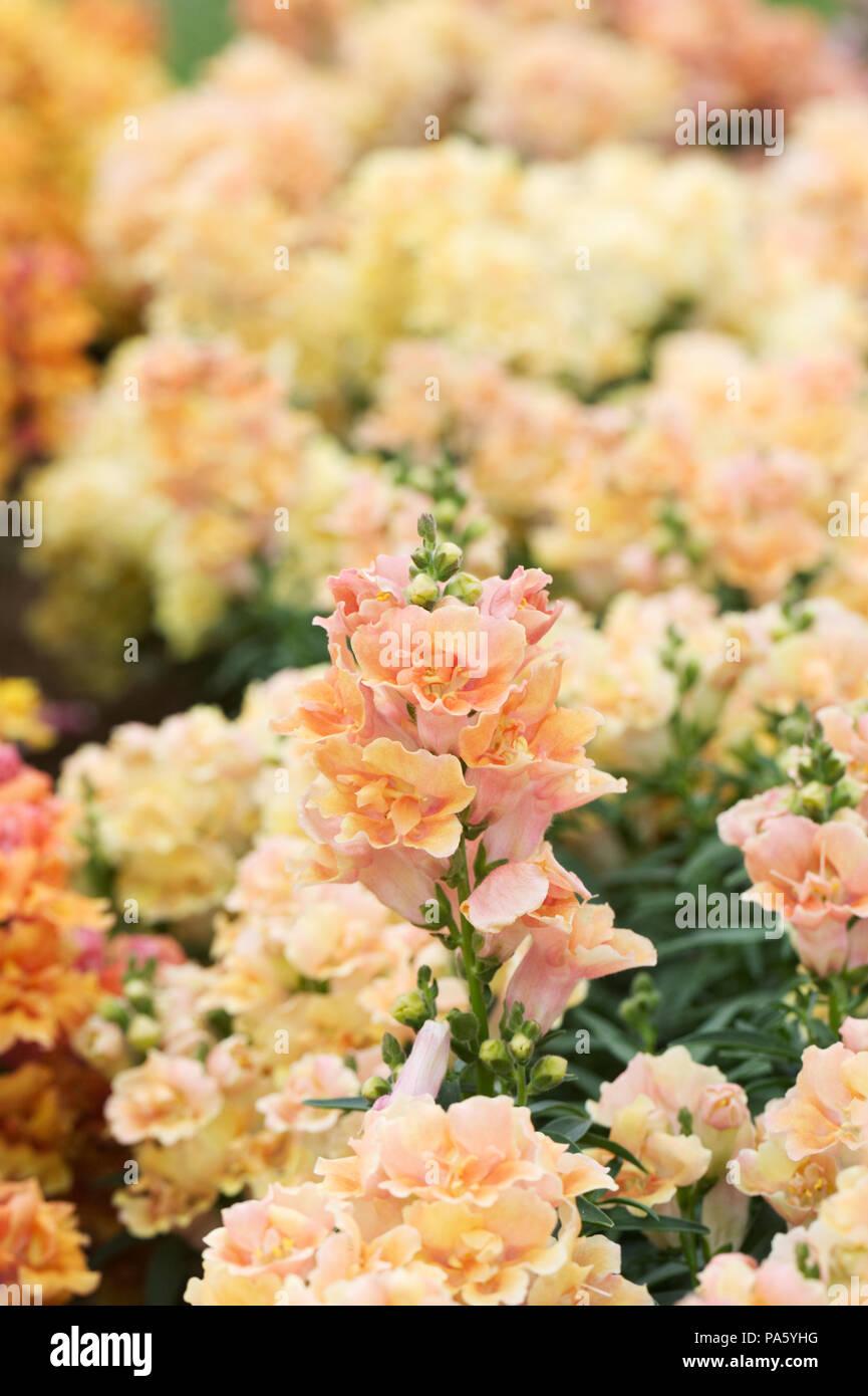 Antirrhinum F1 'Twinny Peach' flowers. Stock Photo