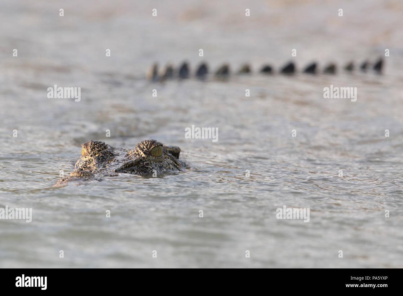 Saltwater Crocodile, Western Australia - Stock Image
