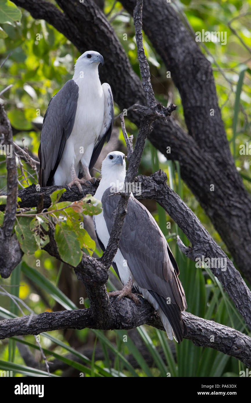 White-bellied Sea-eagle (Haliaeetus leucogaster) in the Kimberley Stock Photo