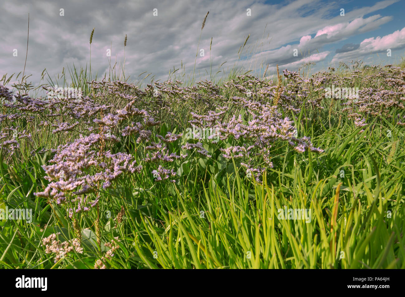 Sea Lavender(Limonium vulgare) on a North West Norfolk marsh, Kings lynn, United kingdom. - Stock Image