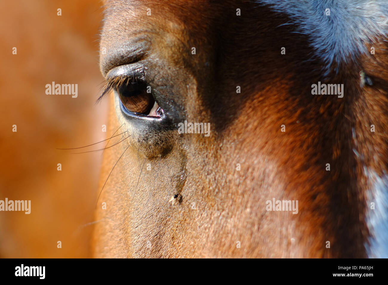 Fly drinking the tears of a horse - Stock Image
