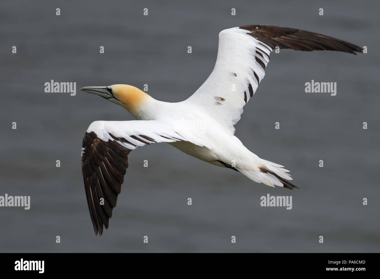 Top view of a fourth year gannet in flight over the sea - Stock Image