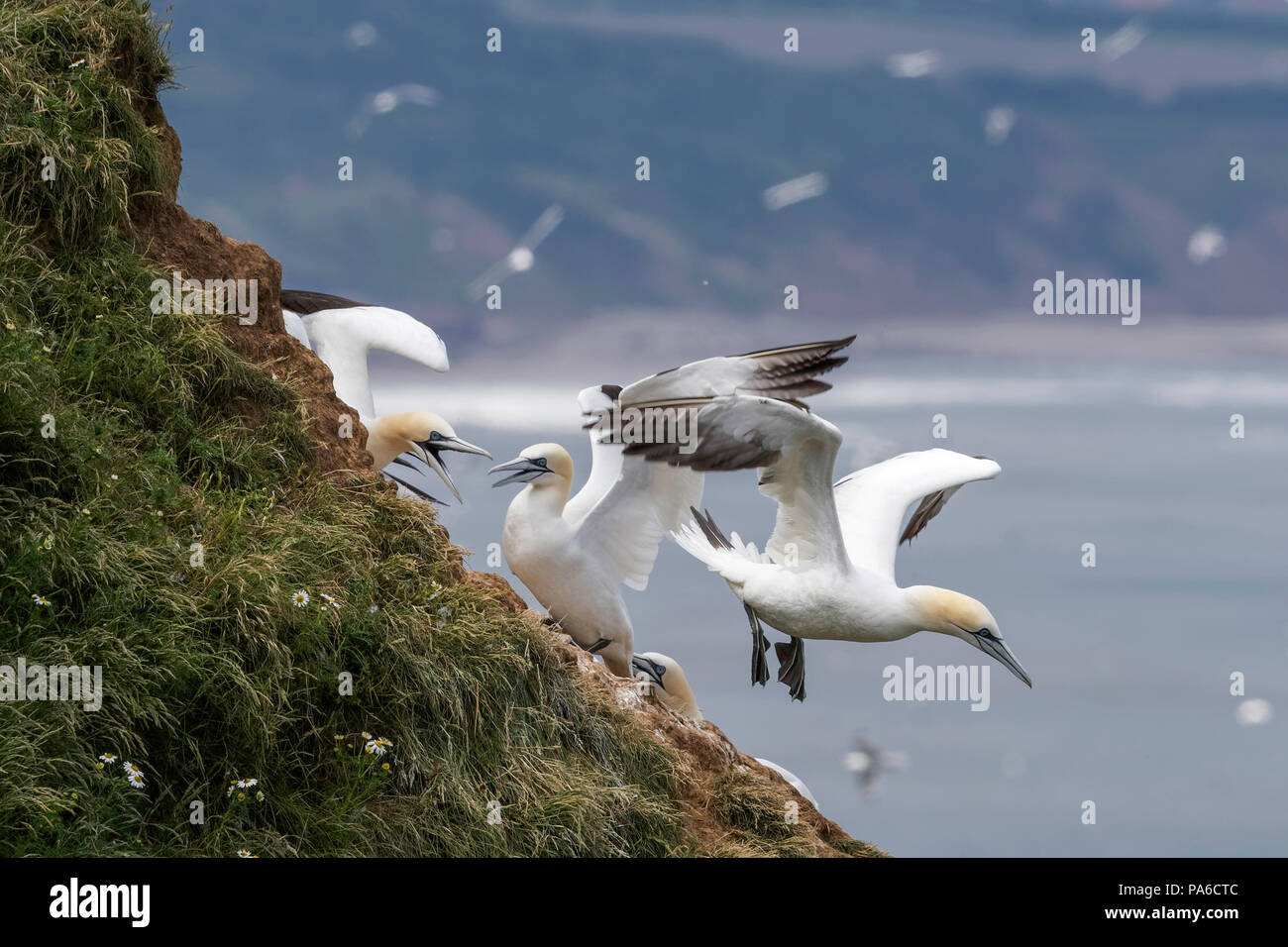 Gannets at their cliff top nest site - Stock Image