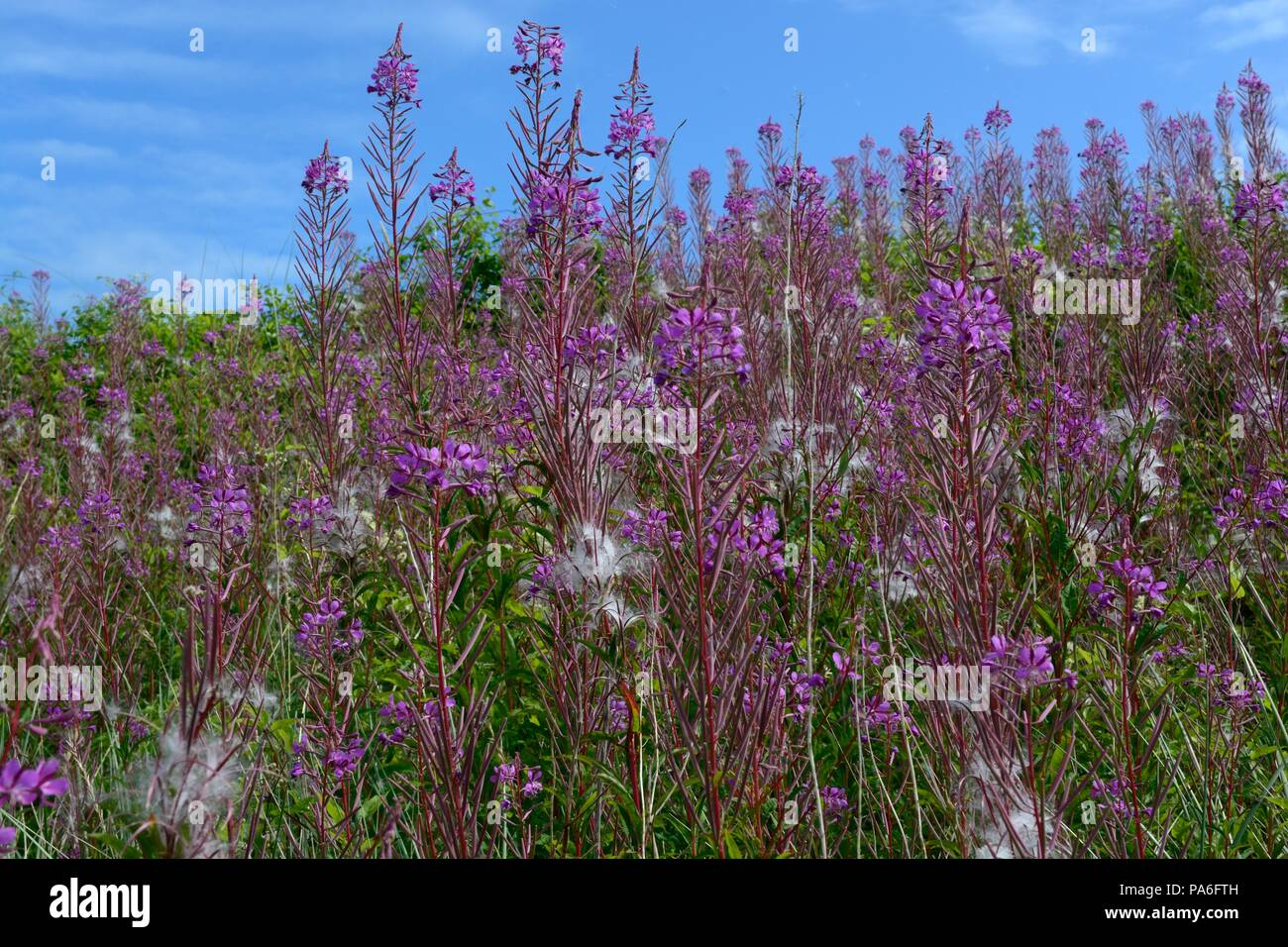 Rosebay willow herb Chamaenerion angustifolium flowers against a blue sky Stock Photo