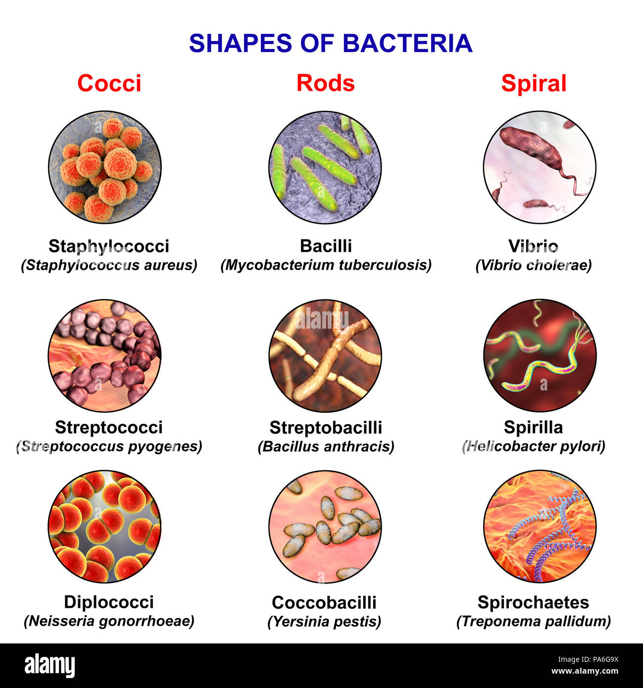 Bacteria of different shapes, computer illustration showing three main shapes of bacteria - spherical (cocci), for example, Staphylococcus aureus; rod-like, for example, Mycobacterium tuberculosis; and spiral, for example, Campylobacter jejuni. Stock Photo