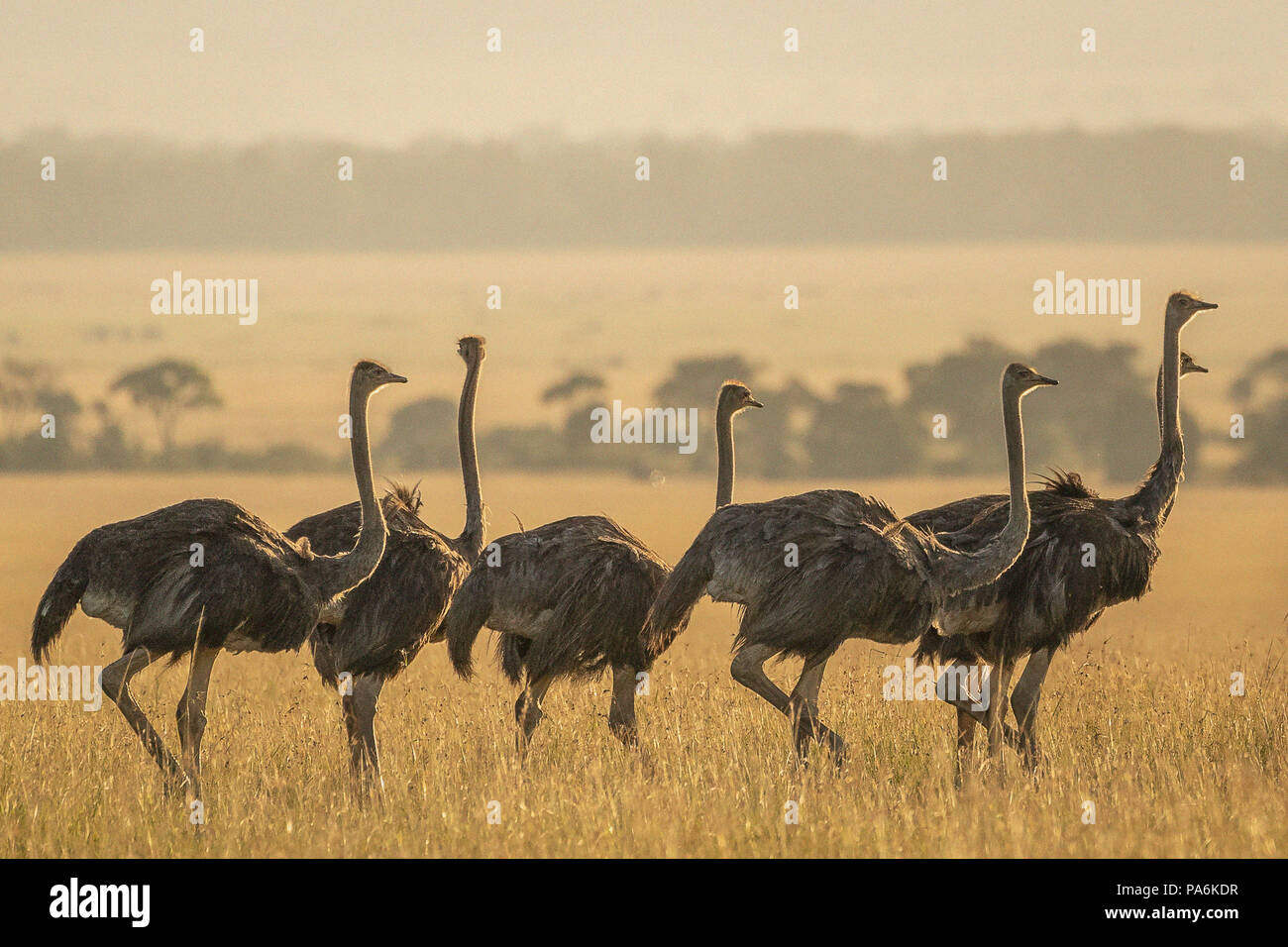 Group of 7 Common Ostriches (Struthio camelus)  walking in late afternoon in the Masai Mara in Kenya - Stock Image