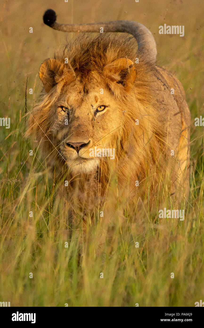 Adult male maned lion charging in grassland in the Masai Mara game preserve in Kenya - Stock Image