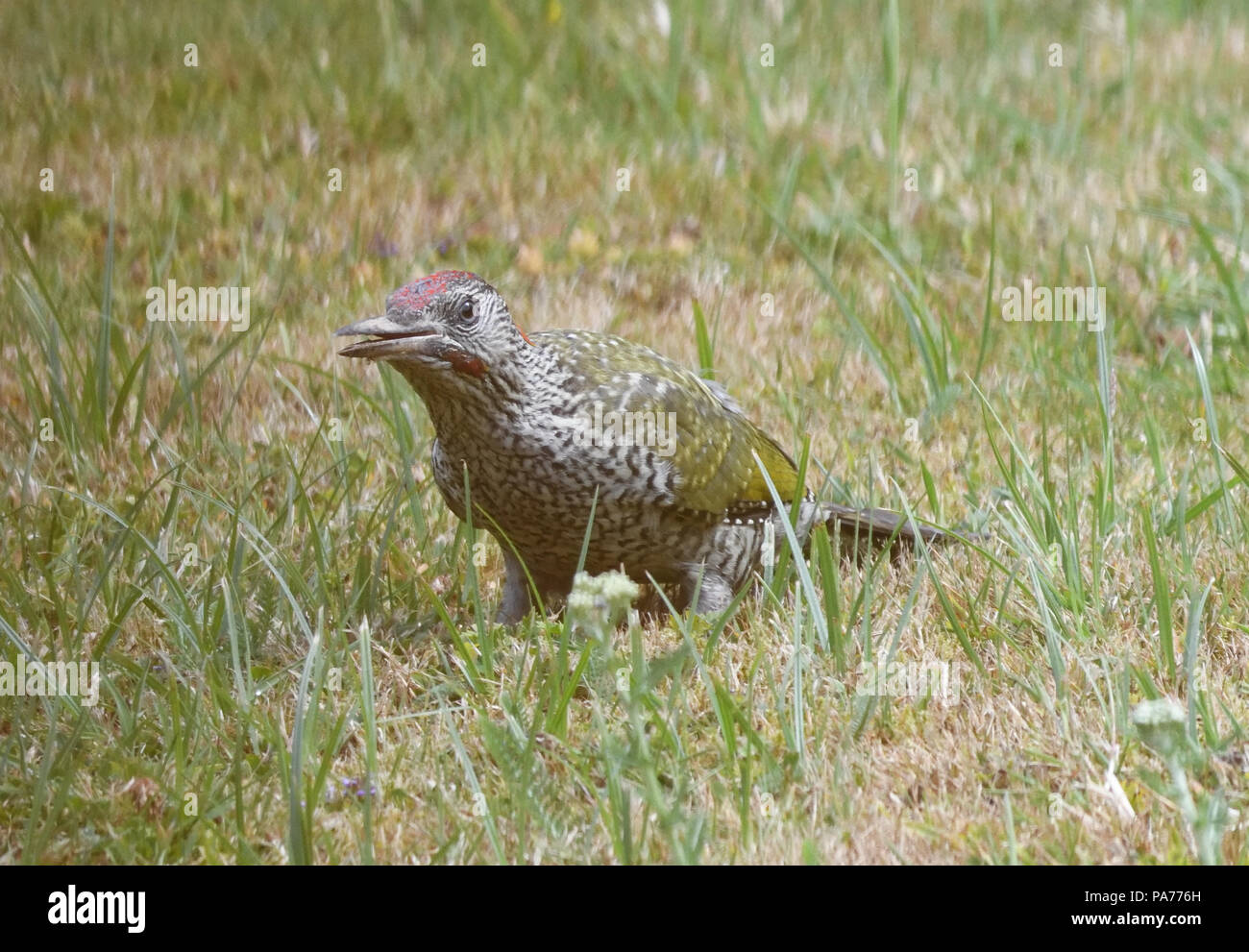A young green woodpecker (Picus viridis) with its surprisingly speckled juvenile plumage searches for ant nests on a drought parched lawn dampened by recent rain. Bedgebury Forest, Kent, England. UK. - Stock Image