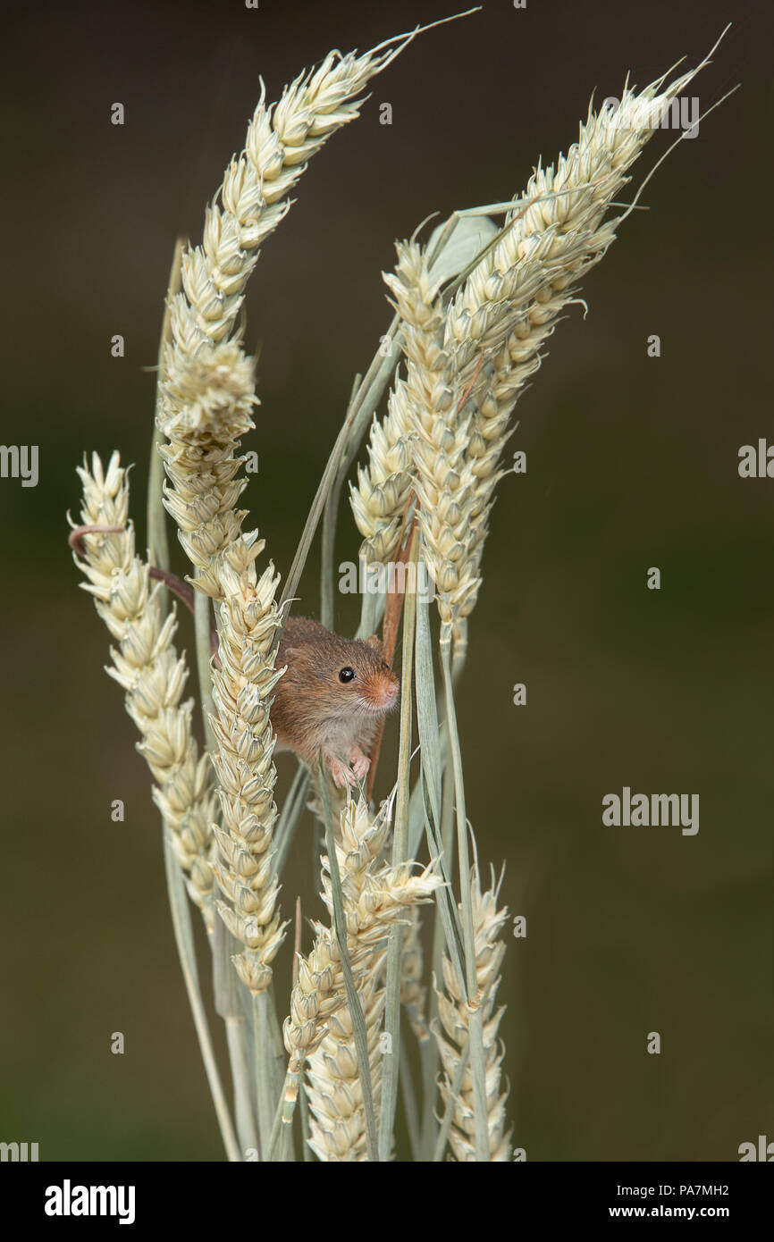A very small harvest mouse peers out from behind ears of wheat in upright format - Stock Image