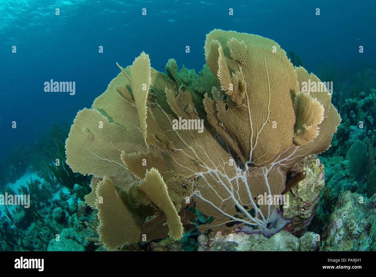 gorgonia flabellum venezuela -  los roques Stock Photo