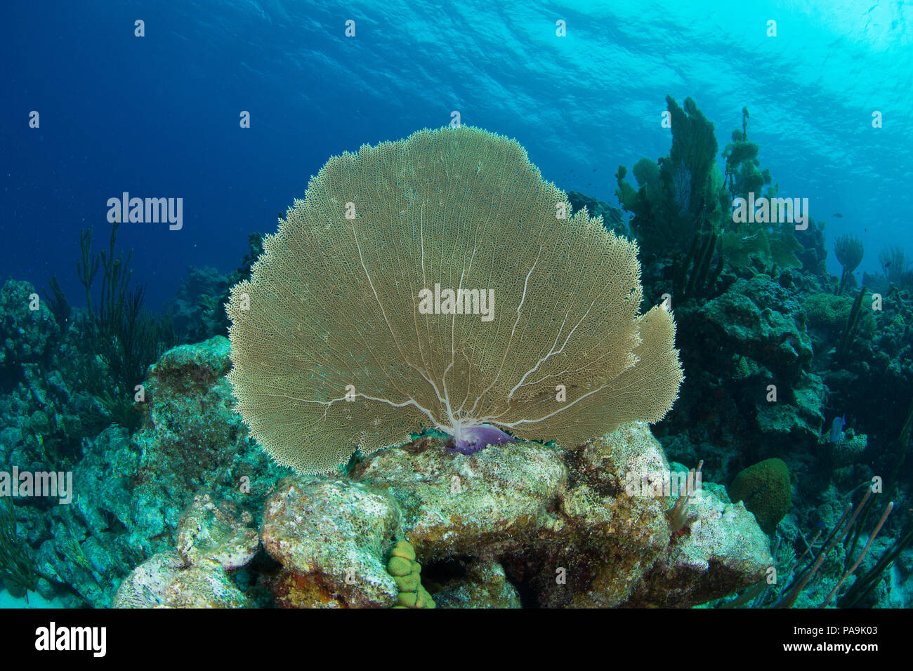 gorgonia flabellum venezuela -  los roques Stock Photo