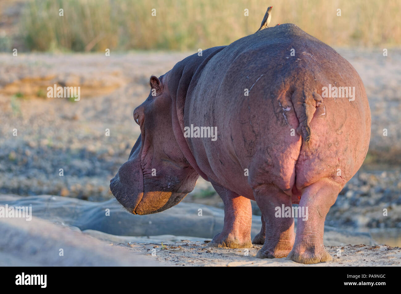 hippopotamus-hippopotamus-amphibius-standing-in-the-riverbed-olifants-with-two-red-billed-oxpeckers-on-its-back-kruger-national-park-south-africa-PA9NGC.jpg