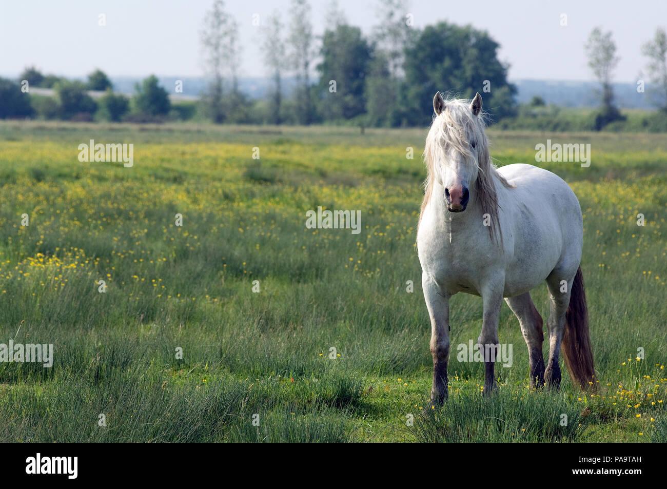 PRE (Pure Race Espagnole) - Spanish breed (Equus caballus) - Stock Image