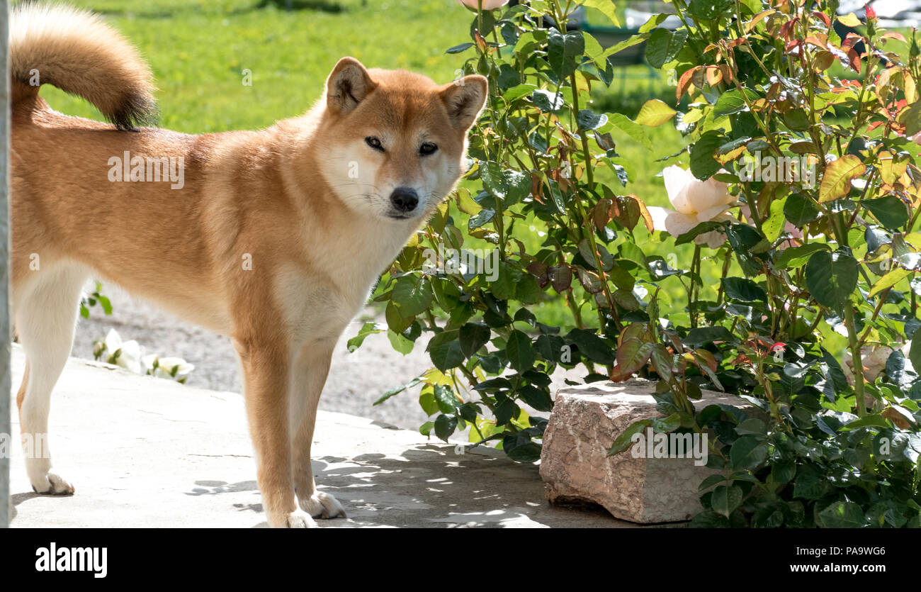 A Shiba Inu smelling a rose and then looking at you - Stock Image
