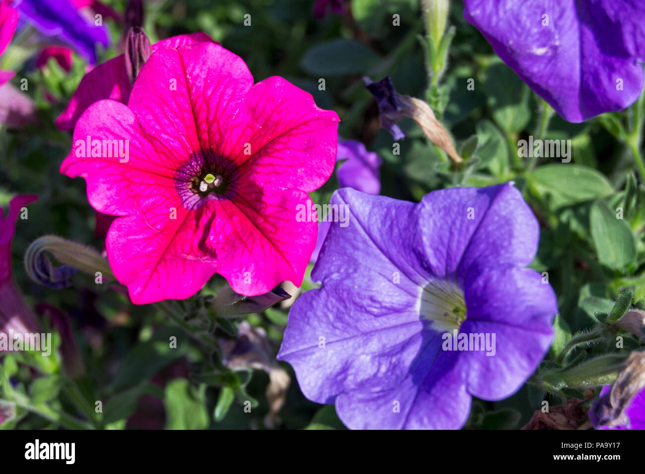 red and violet colorfull petunia flowers -  Petunioideae,  Solanaceae, Solanales - Stock Image