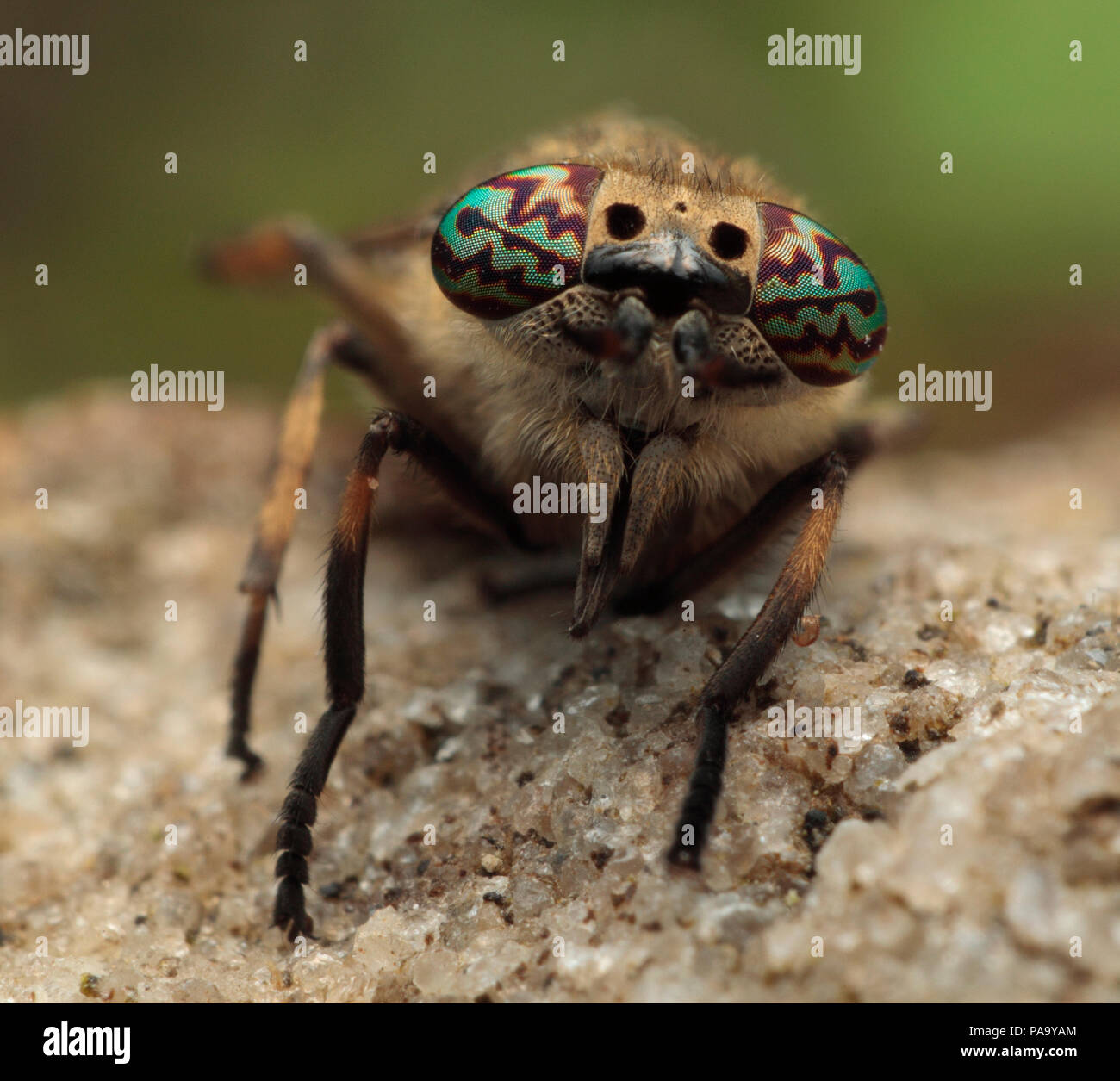 Horse fly compound eyes - Stock Image