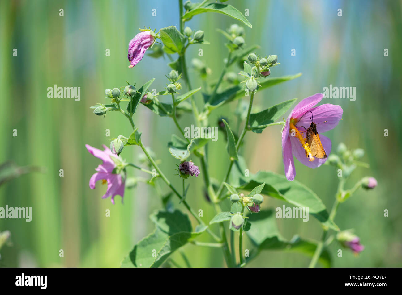 A butterfly visits a satlmarsh mallow - Stock Image