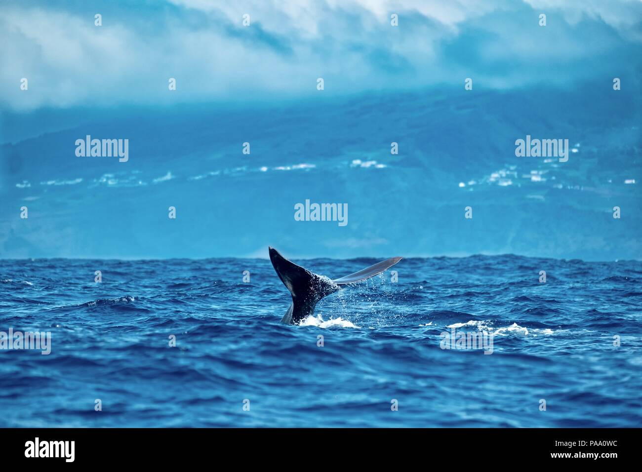 Water dripping from a sperm whale's tail on a cloudy day near Pico Island - Stock Image