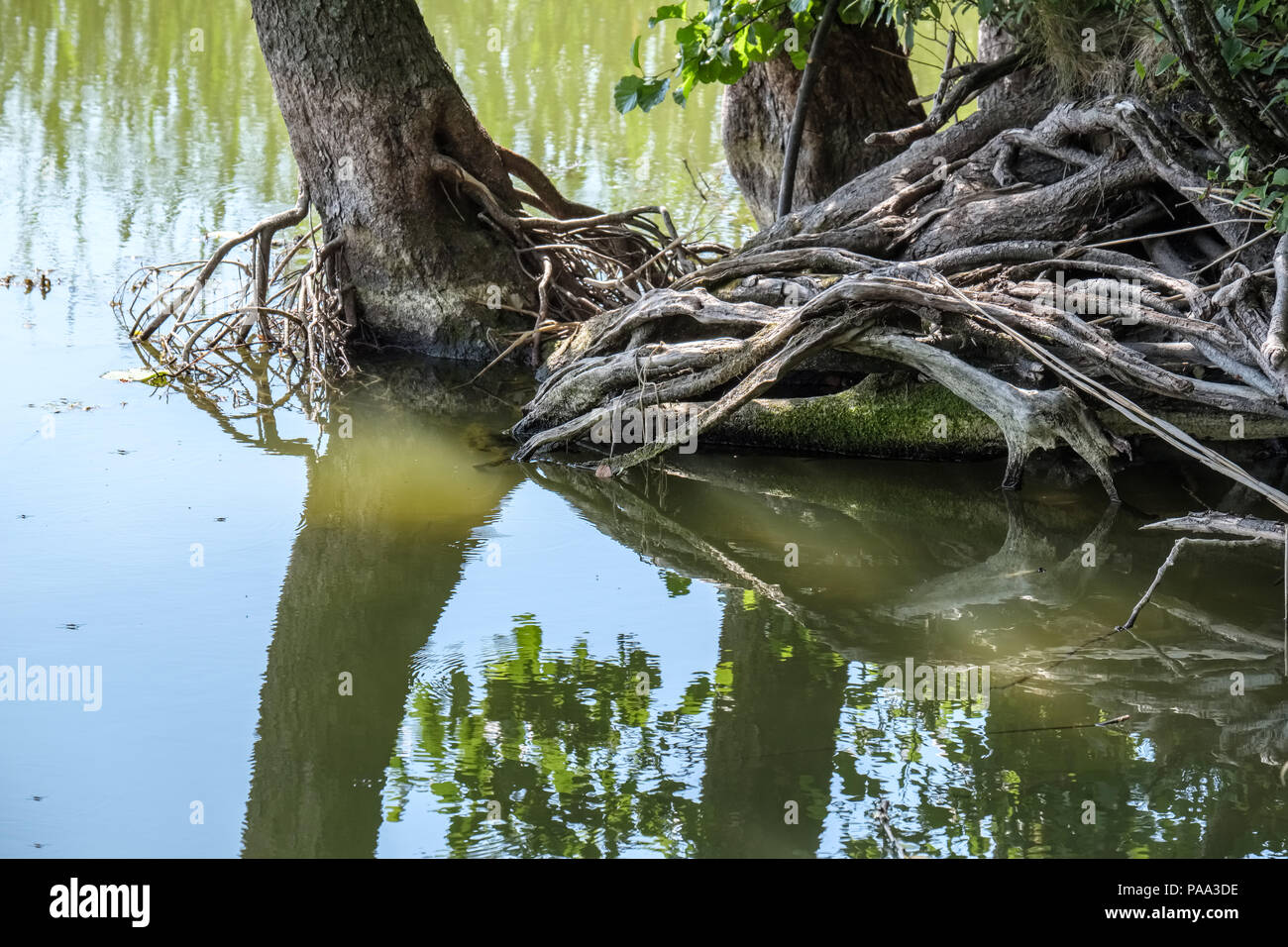 tree trunk silhouettes on the shore of the river in green summer - Stock Image