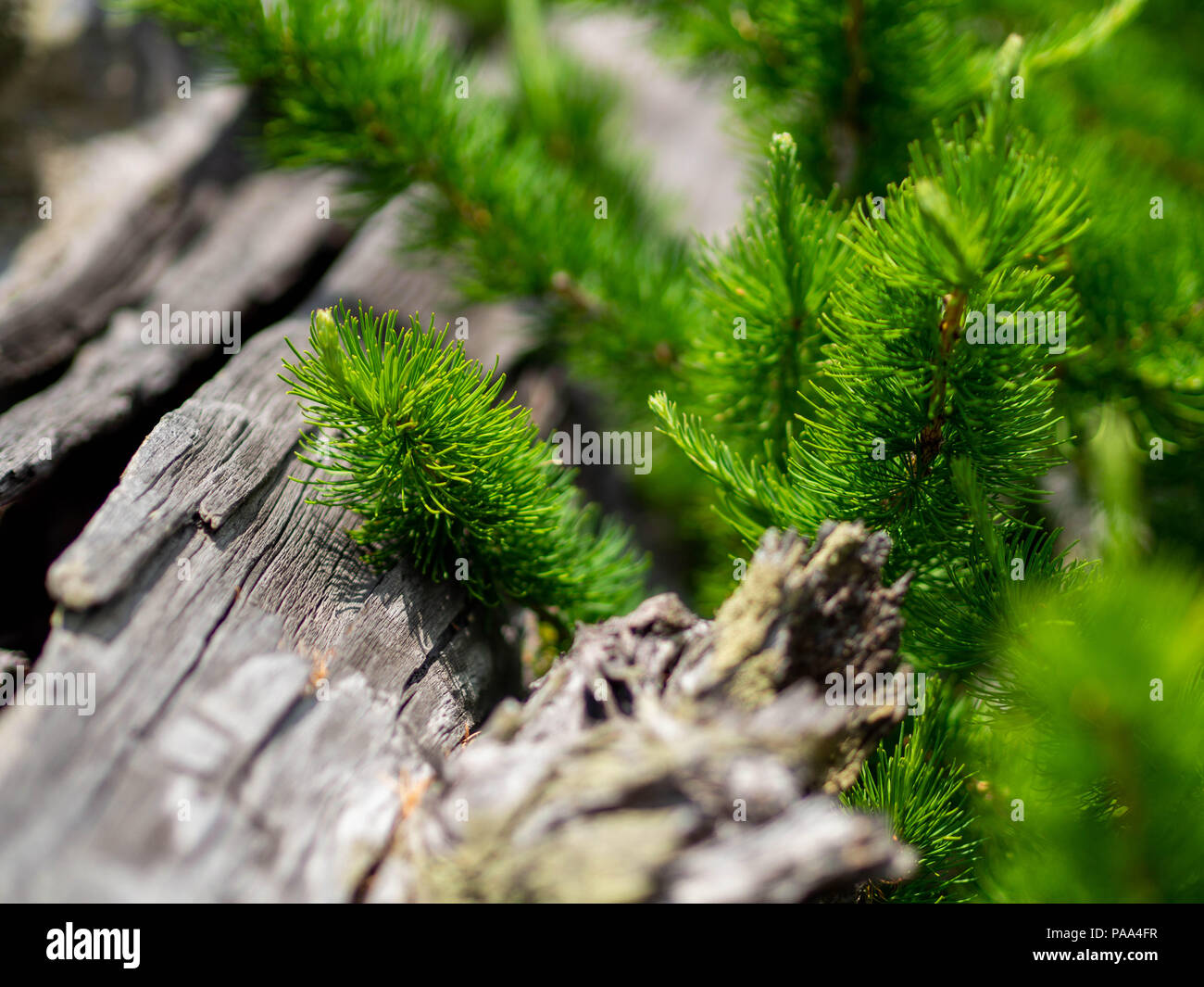 Juicy needles of branches of a coniferous tree, of an ancient tree lying on the ground in the Ural forest, Russia - Stock Image